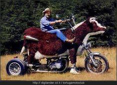 moto mucca
