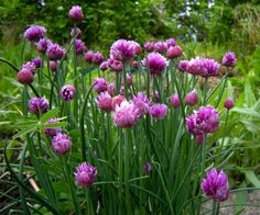 Ruohosipulin kukka, syötävä, kesäkuu-heinäkuu
