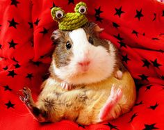 Guinea pig in a woolly hat