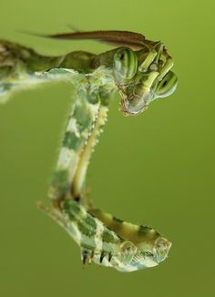 spotted praying mantis checking you out