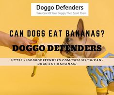 Can dogs eat bananas? The short answer is yes, dogs can eat bananas. Unlike other fruits, which may have toxic components, every part of a banana is safe for your dog to eat. Can Dogs Eat Bananas, Kong Treats, Banana Treats, High Sugar, Dog Eating, Healthy Treats, Canning, Home Canning, Conservation
