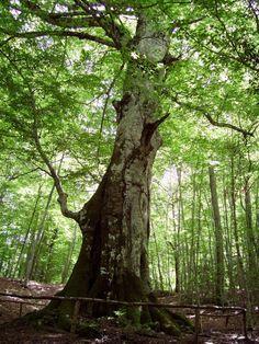 Molise - Il Re FajoneIl Re Fajone Faggio (Fagus sylvatica L.) Comune: Vastogirardi (IS), località Valle S. Maria Circonferenza del tronco: 7,00 mt. - Altezza: 26 mt. (rilievo 2008) Età stimata: plurisecolare
