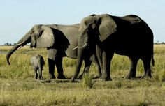 This itinerary offers the ultimate family safari as you travel to three diverse areas including Victoria Falls with the Upper Zambezi, Hwange National Park and the cultural site of Matobo Hills. Activities are varied and have something for everyone including day and night game drives in open-vehicles, walking safaris, game viewing by boat, exploration of caves to see ancient bushmen art and cultural village visits. The camps and lodges welcome children 7 and up.