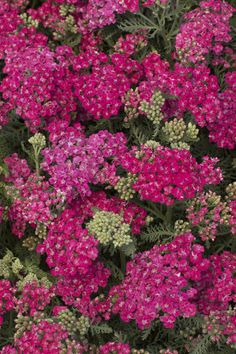 Saucy Seduction Yarrow -   Achillea 'Saucy Seduction'  Clumping growth 25 in. tall and 23 in. wide.  Full sun