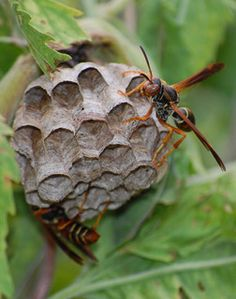 how to get rid of wasp nest in garden shed