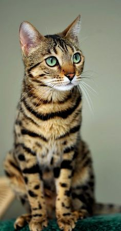 5 Interesting facts about Bengal Cats | Fact#01