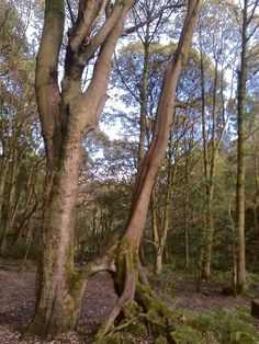 Colden valley - leaning trees