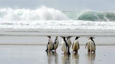 Penguins in Dunedin, New Zealand