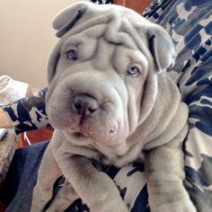 gunner blue shar pei puppy