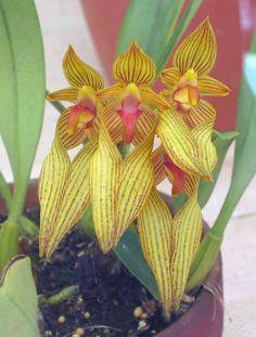 https://flic.kr/p/f3oM3s | 卷瓣蘭屬 Cirrhopetalum annandalei [香港花展 Hong Kong Flower Show]