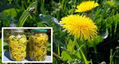 Dandelion Miracle Plant That Cures Cancer, Hepatitis, Liver, Kidneys…… Here is How To Prepare the Cure – Healthy Lifehacks