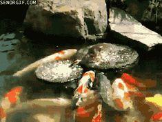 pato dando de comer a los peces