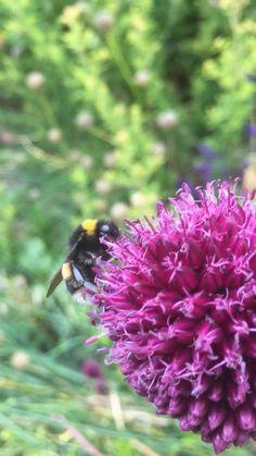 #bumblebee #bees #alliums #purpleflower #pollinators #pollinatorgarden #naturephoto #englishcountryside #englishcottage #cottagegardenideas #cottagegardens #cottagegardendesign