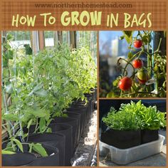 Growing Tomatoes In Pots How to grow in grow bags, made of breathable fabric. It is the aeration that makes grow bags superior to other container gardening. Find out about the soil, water and fertilizing. Growing Tomatoes In Containers, Growing Vegetables, Grow Tomatoes, Dried Tomatoes, Hydroponic Farming, Hydroponics, Tomato Farming, Gemüseanbau In Kübeln, Garden Bags