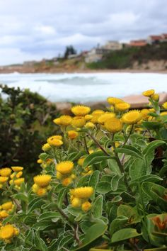 Yellow flowers on the beach next to Ramsgate, South Africa