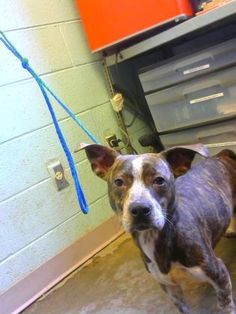 Timmy - URGENT - Dekalb County Animal Shelter in Decatur, Georgia - ADOPT OR FOSTER - 2 year old Male Pit Bull Terrier Mix