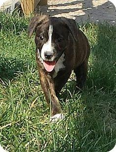 Snow Hill, NC - Bulldog/Hound (Unknown Type) Mix. Meet Fudge, a puppy for adoption. http://www.adoptapet.com/pet/13626072-snow-hill-north-carolina-bulldog-mix