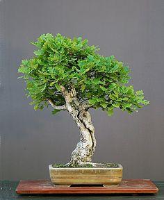 Walter Pall Bonsai Adventures: European oak #1 rescue of an old bonsai