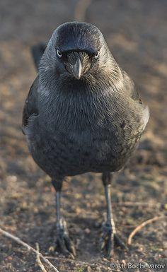 An angry bird (kaja, Western jackdaw, Corvus monedula). Quoth The Raven, Raven Bird, Crow Bird, Pretty Birds, Beautiful Birds, Nature Animals, Baby Animals, Choucas Des Tours, Jackdaw