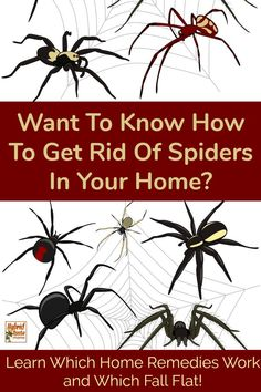 Get Rid Of Toxin How do you get rid of spiders in your home? You want them gone forever right? Believe it or not there are some very effective home remedies to get rid of spiders fast. Learn these non-toxic ways to keep spiders out of house for good! Keep Spiders Away, Get Rid Of Spiders, Get Rid Of Ants, Killing Spiders, Home Remedies For Spiders, Spider Spray, Spider Webs, House Spider, Household Pests