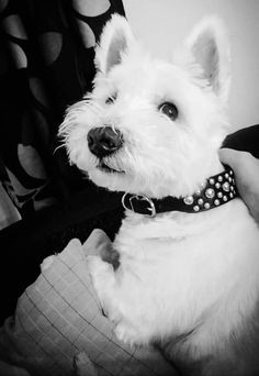 This is Charlie he is so Handsome West Highland Terrier❤❤❤