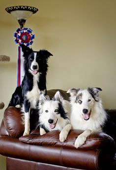 Cute Puppies, Dogs And Puppies, Cute Dogs, Doggies, Beautiful Dogs, Animals Beautiful, Cute Animals, Collie Mix, My Animal