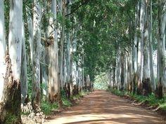 Australian formal - Eucalyptus aisle.