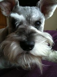 I wub you, Momma: This is my Greta, a 4 year old, salt and pepper Miniature Schnauzer.  Greta came into our lives at a time when we really needed a pet and shes so much