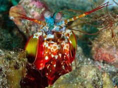 From : National Geographic Images     - Mantis Shrimp -