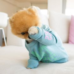 #Jiffpom is the #dog  most famous animal in the world with over 24 million followers across all social media channels. A three time Guinness World Record holder, in 2017 he set the record for most Instagram followers by an animal with 7.4 million and counting #Pomeranian