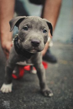 A pit-bull puppy with blue eyes