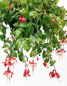 Verenpisara hoito. Verenpisara on tuuheakasvuinen horsmakasvi. Katso hoito-ohjeet ja kasvatusvinkit. Gardening Tips, Plants, Plant, Planets