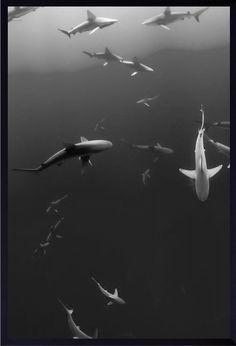 Quadro Decorativo com Moldura Preta Tubarões em Preto e Branco 60x80cm - Decore Pronto