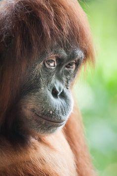 (via 500px / Orangutan by Justin Lo)