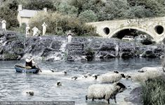 Photo of Cenarth, Sheep Dipping Part of The Francis Frith Collection, free to browse online. Saint David's Day, English Village, Hand Coloring, Beautiful Images, Farming, Wales, Countryside, Sheep, Dips