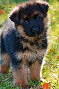 German Shepherd puppy by Grunwald Haus