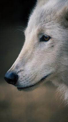 Our handsome Arctic wolf ambassador Kenai. You can howl along with him in our Backstage Pass program (for real).