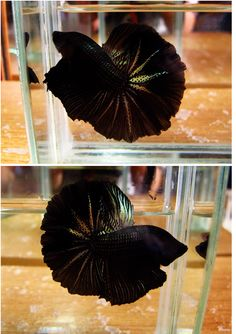 HM Black Orchid Betta. Love the colors and spotty patterns in the rays!