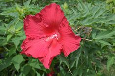 Hibiscus 'Lord Baltimore' Common Name: Hardy Hibiscus Plant Story: Famous for its big red flowers, Hibiscus 'Lord Baltimore' is a herbaceous perennial produces hollyhock shaped flowers on reddish-brown stems.  Type: Perennial Herbaceous Bloom Season: Summer Flower Color: Red Planting Zone: 5-9  Click to learn more. Summer Flowers, Red Flowers, Colorful Flowers, Hibiscus Plant, Zone 5, Herbaceous Perennials, Hollyhock, Different Plants, Reddish Brown