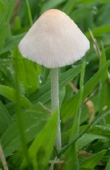 How To Get Rid Of These Common Mushroom Found In Midwest Lawns Mix 1 4 C Dawn Dish Soap 3 Gallon Water Worked For Me