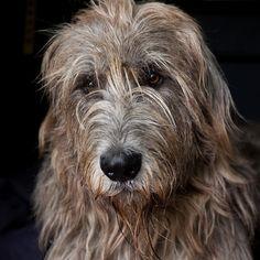 Irish Wolfhound Mac | by Rob van de Peppel