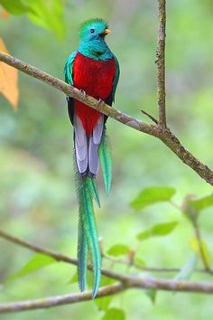 Resplendent Quetzal (Pharomachrus mocinno) is a strikingly coloured bird in the trogon family found from Chiapas, Mexico to western Panama (unlike others of the genus Pharomachrus, which are found in South America and eastern Panama). They have iridescent green or golden-green wing coverts, back, chest and head, with a red belly. There are two subspecies, P. m. mocinno and P. m. costaricensis. They are found in forests and woodlands, especially in humid highlands.