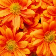"Pretty orange [chrysanthemums? daisies?].  In reality: ""Untitled,"" by spazio_space, via Flickr"