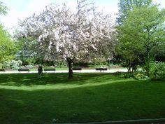 Cherry blossom, Paris