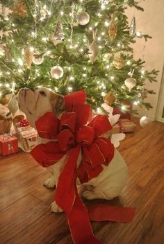 If only somebody would get me an English bulldog for Christmas. I'd be the happiest girl in the world!