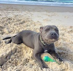 Me loves the beach #PitBullQuotes
