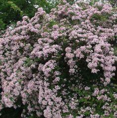 Kellokuusama – Kolkwitzia amabilis (paradisbuske)