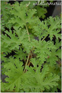 5 Top Medicinal Uses of Pelargonium Graveolens For Skin, Hair & Health - Wildturmeric
