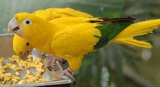 Golden Conure Guaruba guarouba Feeding 2134px - Anexo:Lista de aves do Brasil – Wikipédia, a enciclopédia livre