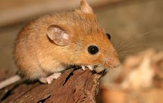 Golden mouse (Ochrotomys nuttalli)